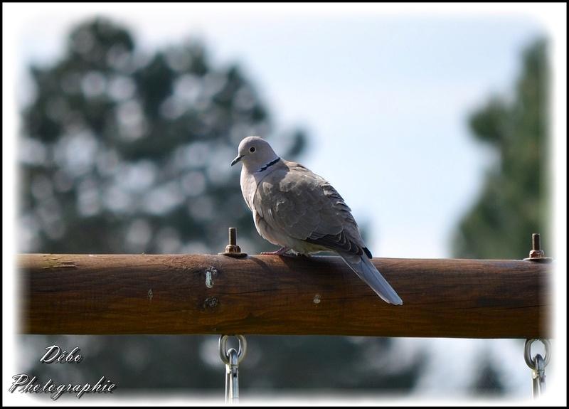 Les oiseaux de mon jardin Nikon_21