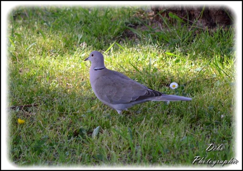 Les oiseaux de mon jardin Nikon_22