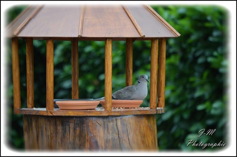 Les oiseaux de mon jardin Nikon_23