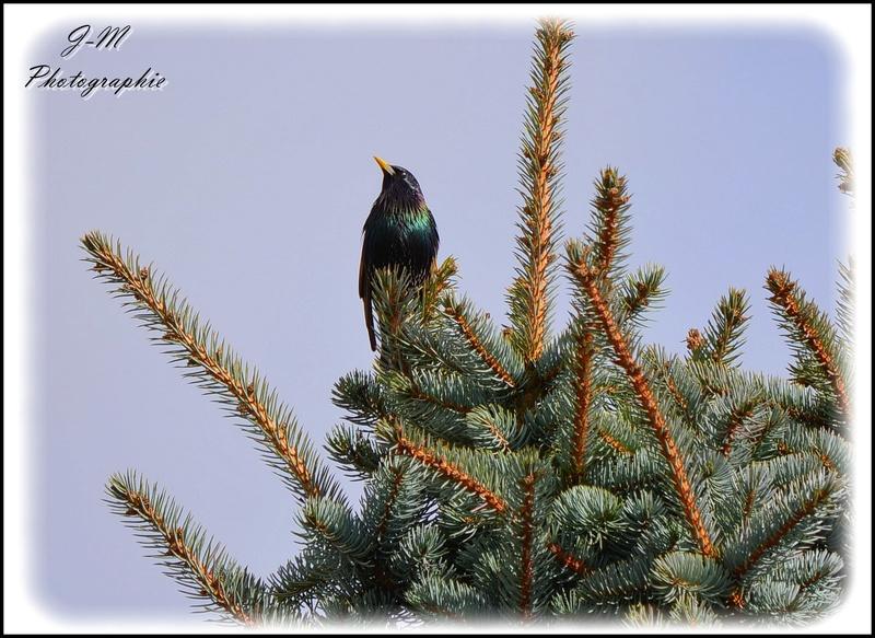 Les oiseaux de mon jardin Nikon_24