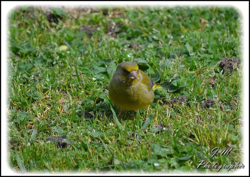 Les oiseaux de mon jardin Nikon_25
