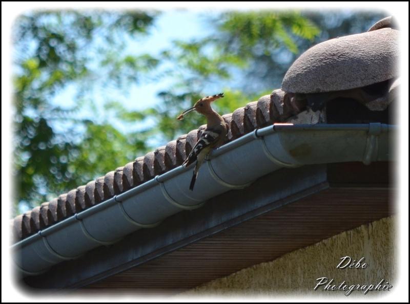 Les oiseaux de mon jardin Nikon_26