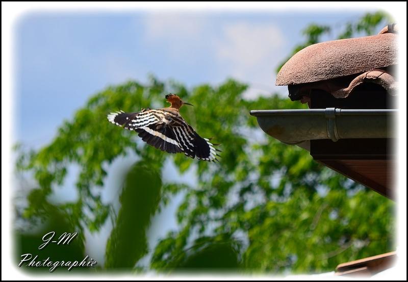 Les oiseaux de mon jardin Nikon_28