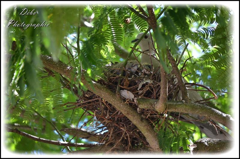 Les oiseaux de mon jardin Nikon_30