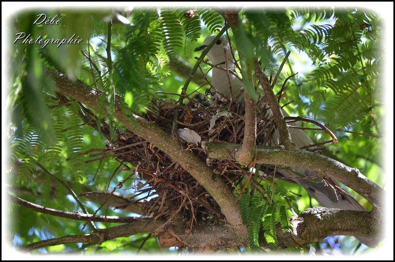 Les oiseaux de mon jardin Nikon_31