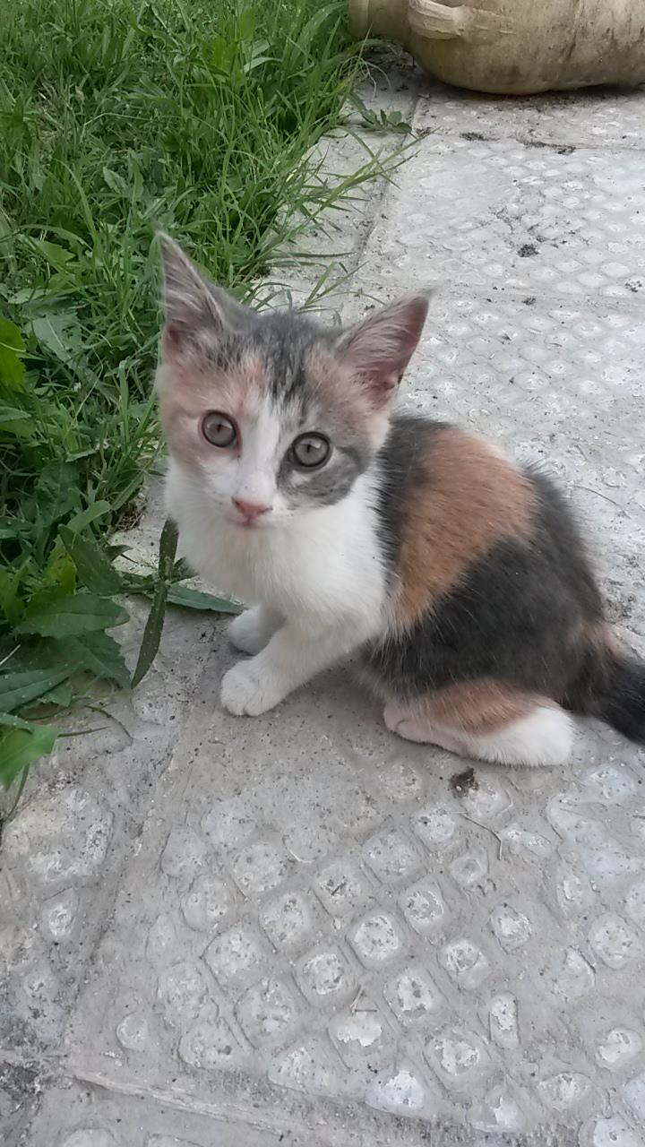 Perdue chatonne tricolore à Aussonne 20160714