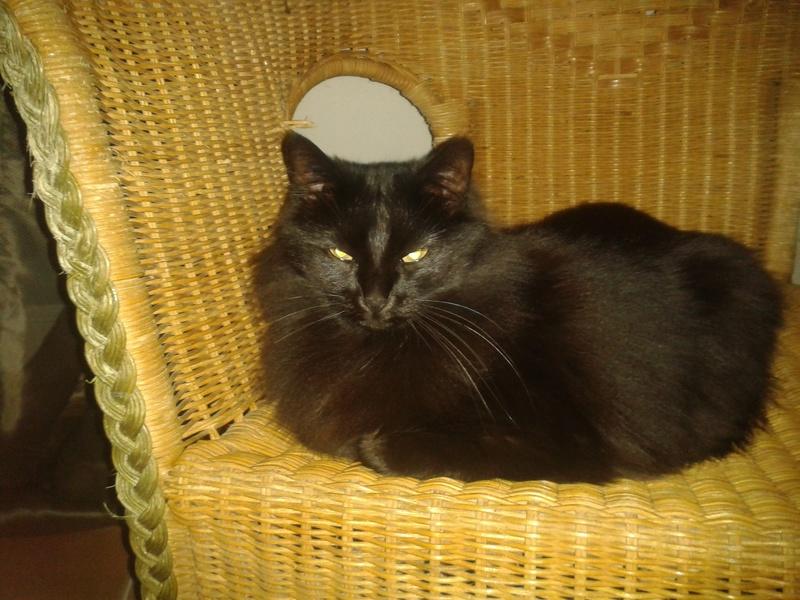Perdue chatte noire poils longs vers chemin St Jean Photo_10