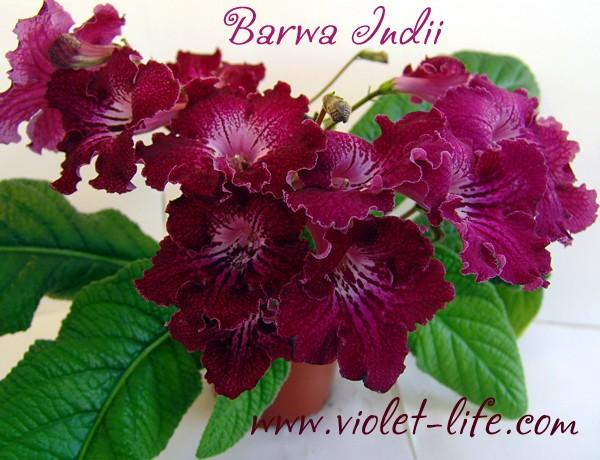 Barwa Indii,(P.Kleszczynski) Barwa_10