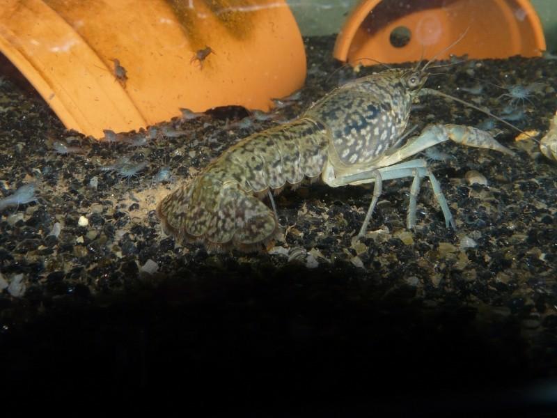 Procambarus sp marmor P1060810