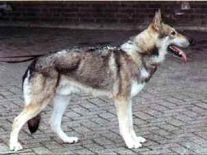 Sarloški vučji pas Doger10
