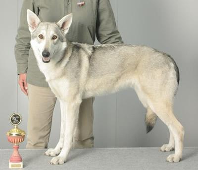 Sarloški vučji pas Pes10