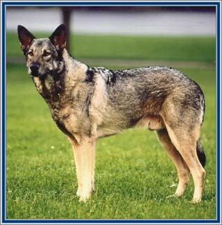 Sarloški vučji pas Poluvu10