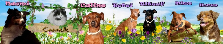 Adoption Balto pinscher adulte noir et feu (44) Sander16