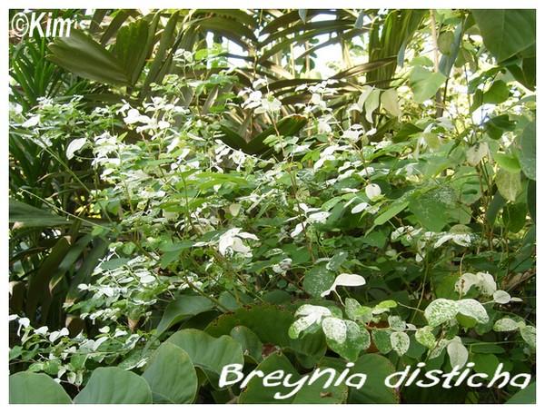 Breynia disticha ( Fiche ) Breyni10