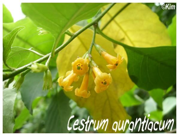 Cestrum aurantiacum ( Fiche ) Cestru11