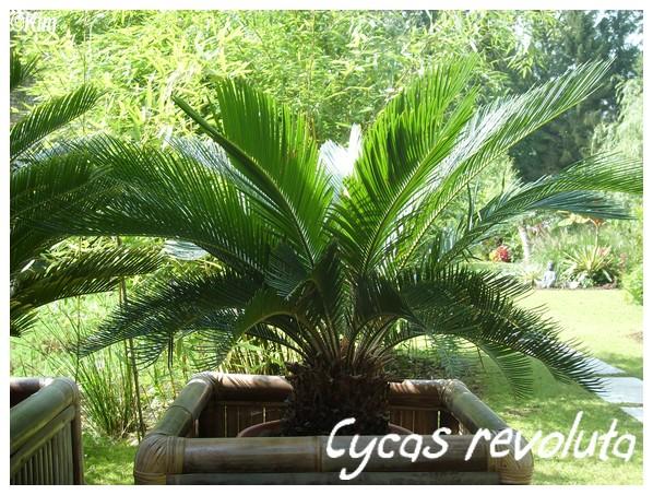 Cycas revoluta ( Fiche ) Cycas_10