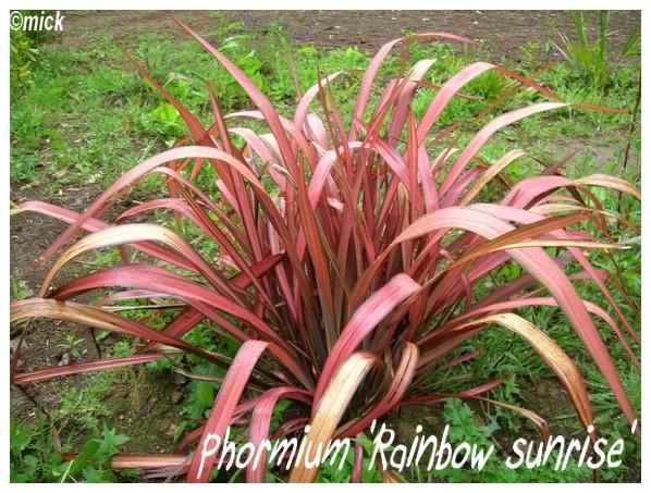 Phormium 'Rainbow sunrise' ( Fiche ) Dscn1110