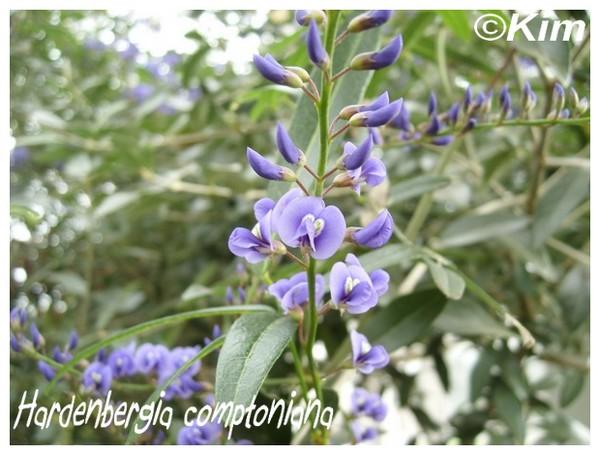 Hardenbergia comptoniana (  Fiche ) Harden10