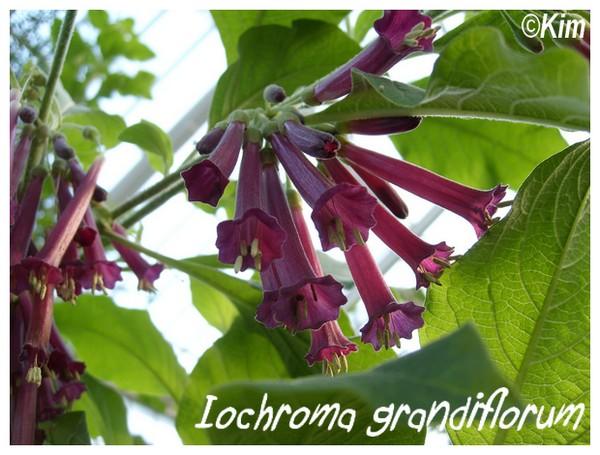 Iochroma grandiflora ( Fiche ) Iochro10