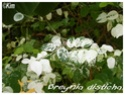 Breynia disticha ( Fiche ) Breyni11