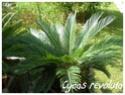 Cycas revoluta ( Fiche ) Cycas_11