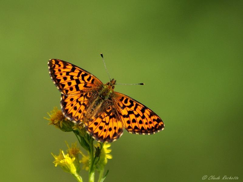 Papillon à identifier!!! Argynn10