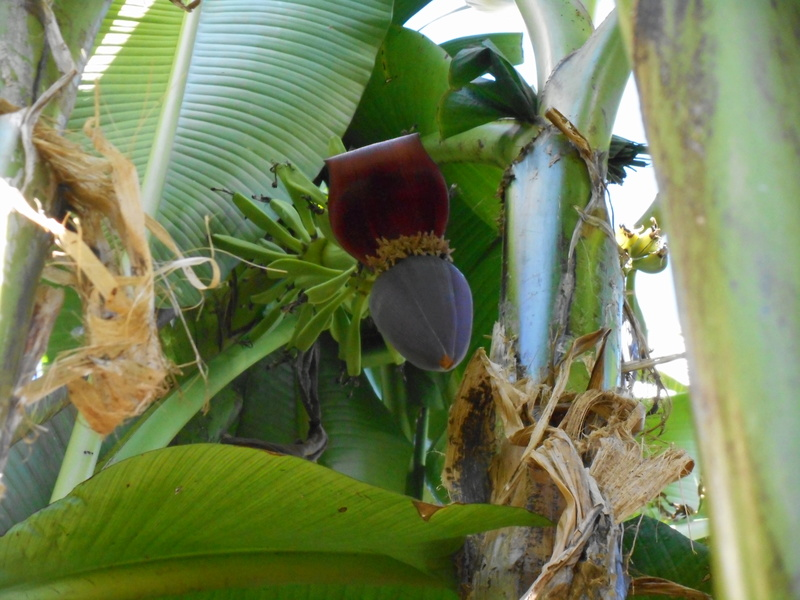 Floraison de Musa Sikkimensis Dscn2810