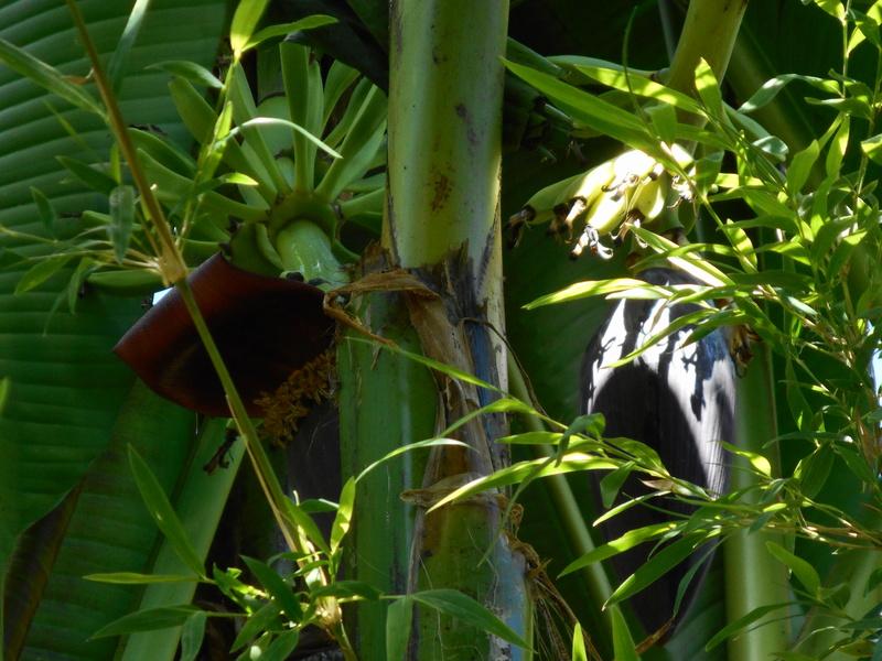 Floraison de Musa Sikkimensis Dscn2812