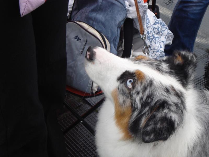 Выставочные успехи наших собак Dsc05610