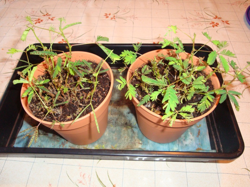 mimosa pudica qui perd ses feuilles Dsc08310