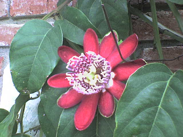passiflora quadrangularis??? Dsc00121