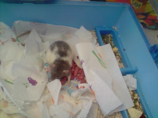 ratte qui grossit, s'isole, couine, probleme digestif? - Page 5 P2107111