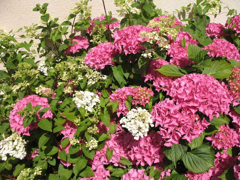 hortensia - Page 31 Img_9111