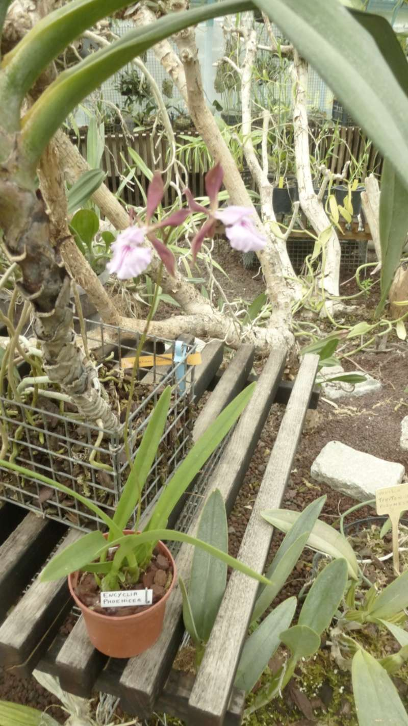 Encyclia phoenicea P1200210