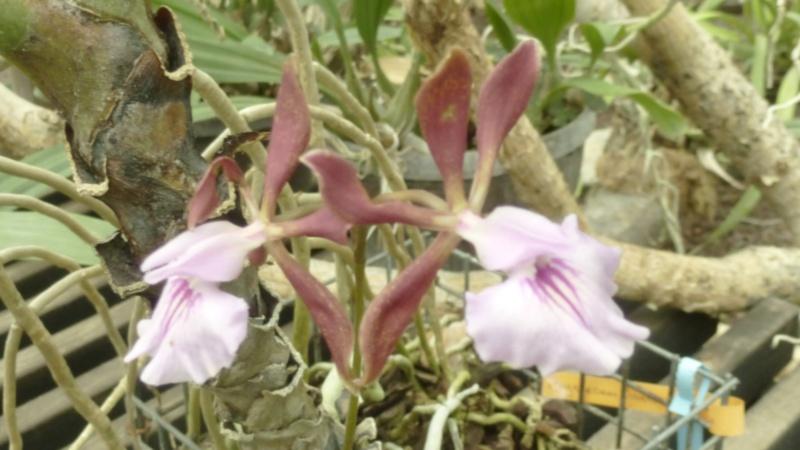 Encyclia phoenicea P1200211