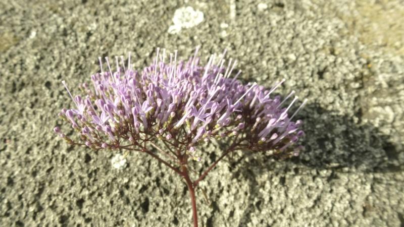 Trachelium coeruleum  P1200214