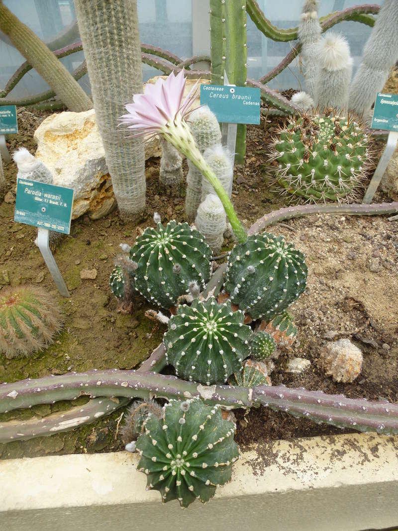 EX : Parodia warasiii  C'est un echinopsis mais lequel on cherche  P1210416