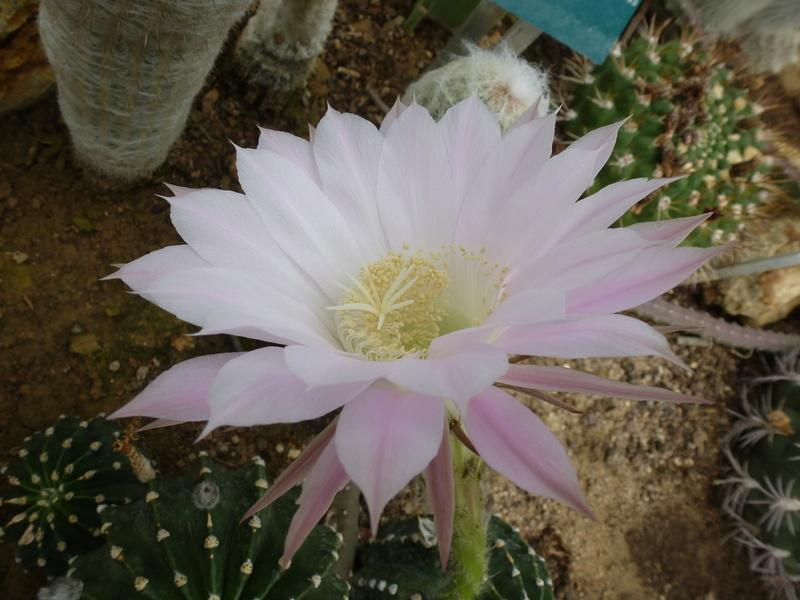 EX : Parodia warasiii  C'est un echinopsis mais lequel on cherche  P1210417