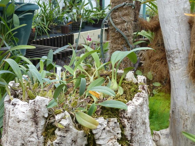 Bulbophyllum maxillare (= Bulbophyllum blumei) P1210418