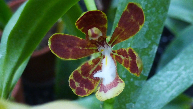 Solenidium racemosum  P1210524