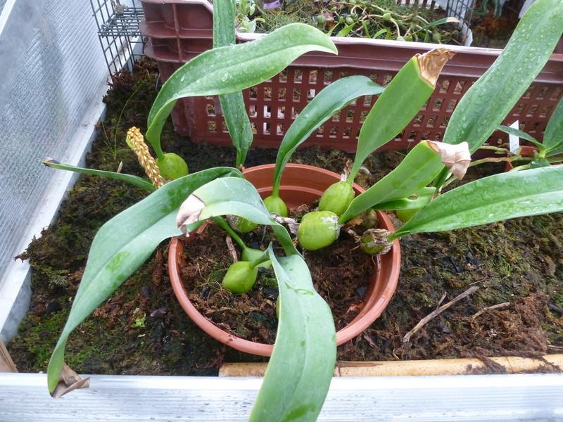 Bulbophyllum sicyobulbon  P1210610
