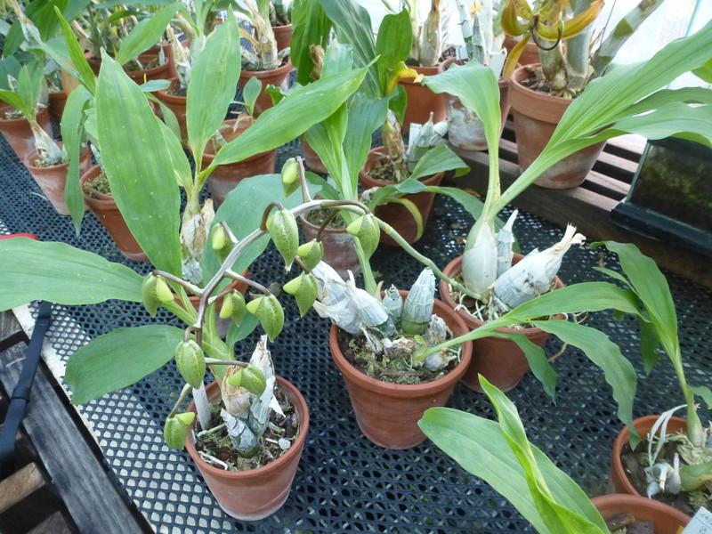 Catasetum fimbriatum bientôt en fleurs  P1210614