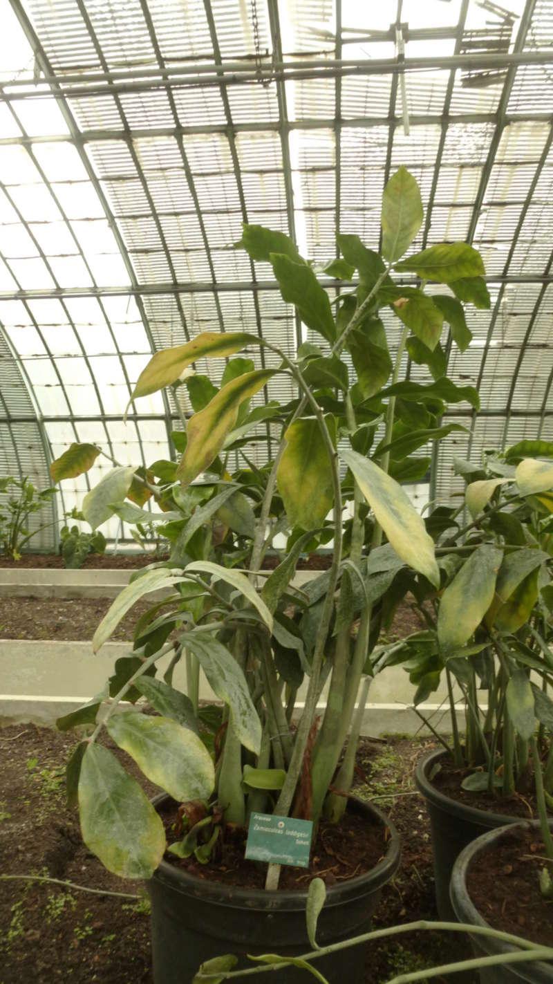 Zamioculcas zamiifolia (= Zamioculcas loddigesii) P1210621