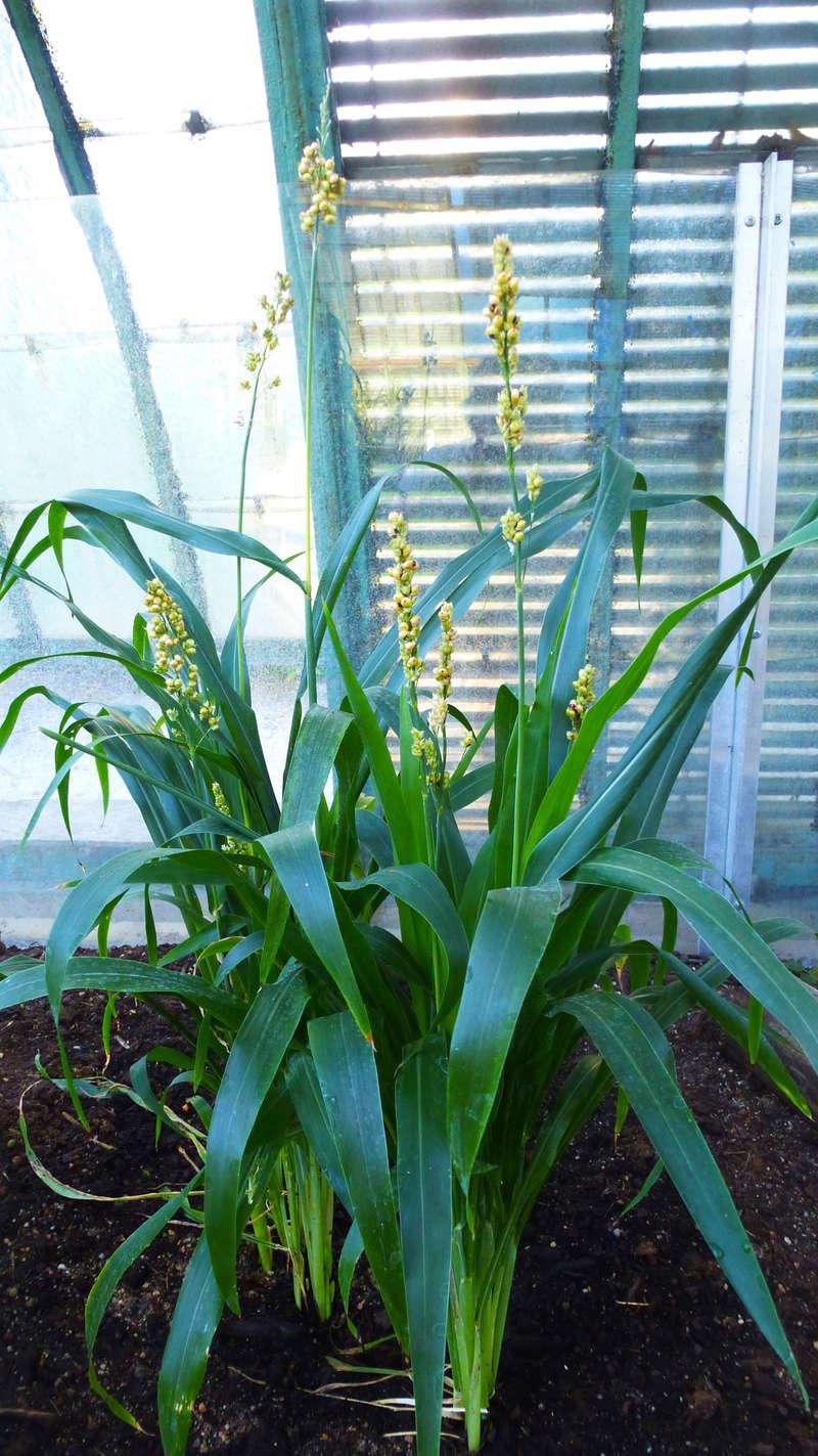 Quelques plantes utilitaires  P1210721