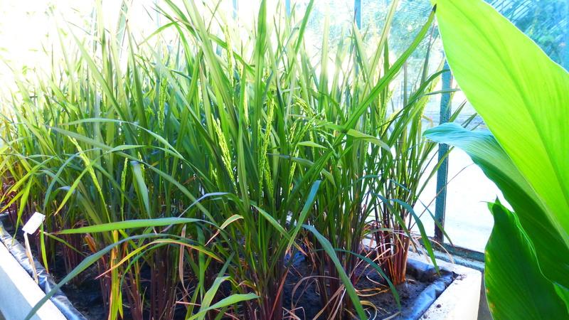 Quelques plantes utilitaires  P1210724