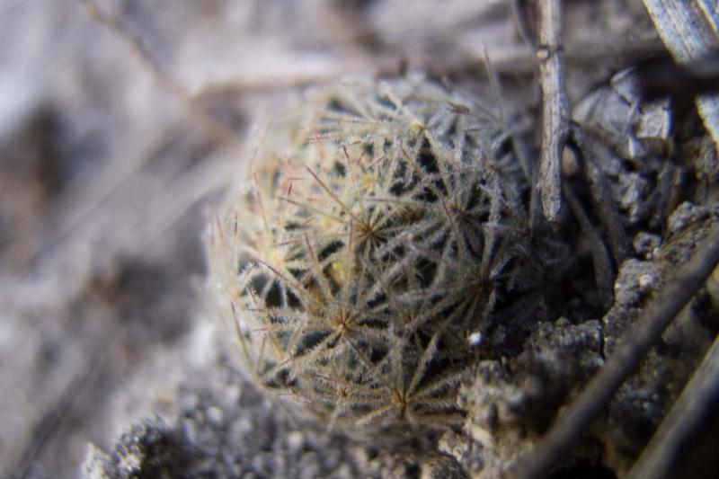 Mammillaria rischeri sp. nova 2012-018