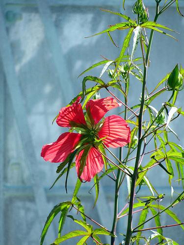 Hibiscus coccineus 38398610
