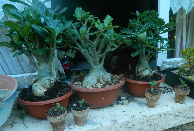 Sauvage sud africaine: Adenium obesum  - Page 9 Bb_ade10
