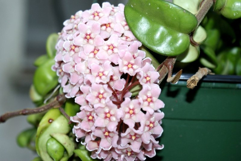 Hoya carnosa ' Crispa Variegata ' Dsc00037