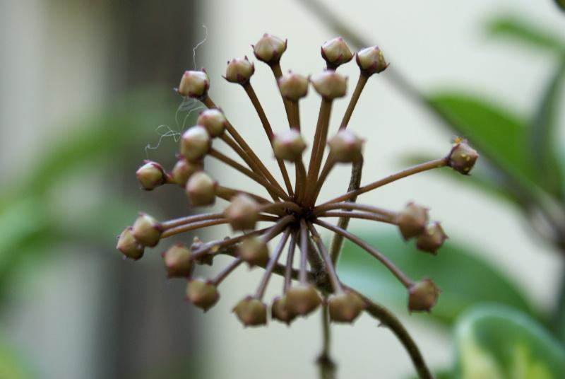 Hoya carnosa Dsc02033